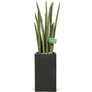 고급 공기정화식물 스투키(높이 약90cm내외)