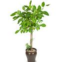 뱅갈고무나무(약120cm)