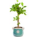 (공기정화추천) 뱅갈고무나무