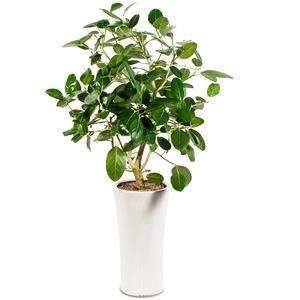 뱅갈고무나무