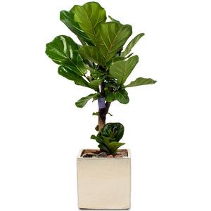 떡갈고무나무 사각분(약70cm)