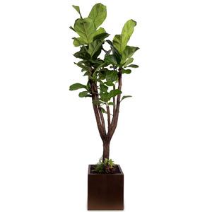인테리어 떡갈나무(약150cm)