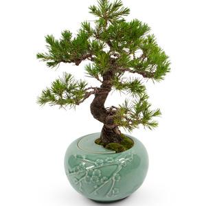 도자기 소나무분재754v
